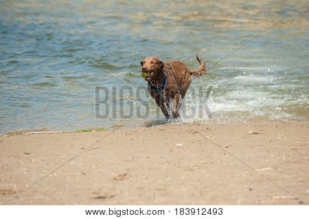 Chocolate Labrador dog splashing along estuary shoreline with ball.