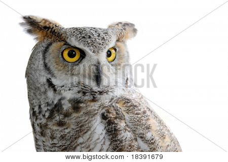 great horned eagle owl or bubo virginianus