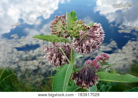 A common milkweed plant (Asclepias syriaca) blooms near a small lake in Joliet, Illinois during July.