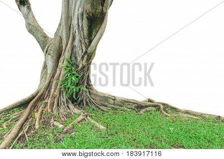 Roots and trunk of a tree isolated on white background. This has clipping path.