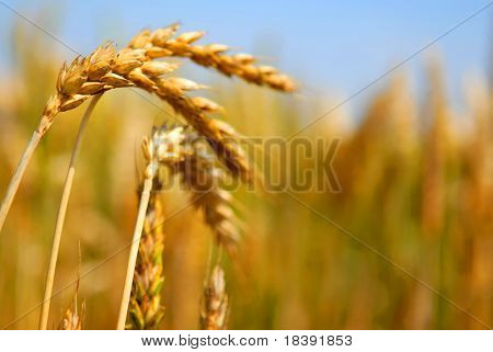 golden wheat in the field with a shallow dof and blue sky
