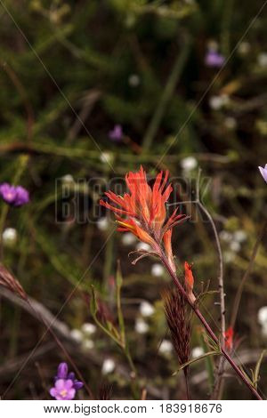 Indian paintbrush red flower also called Castilleja growing wild in the Aliso Wilderness Park in Laguna Beach California