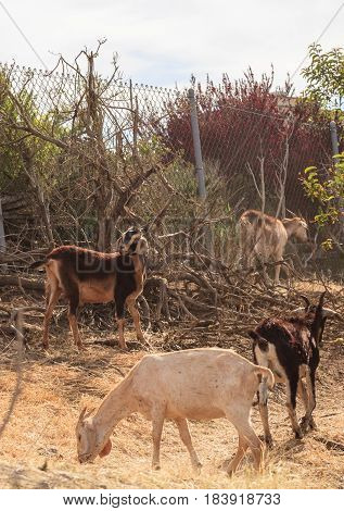 Goats eat shrubs and grass in Laguna Beach California as a farm of land management and avoiding wildfires.