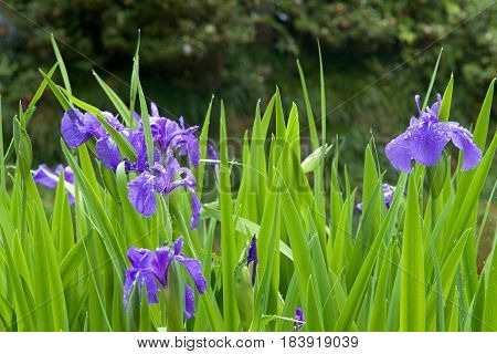Pond Marginal Iris rely on pond water for nutrients they improve water quality by extracting excess detrimental nutrients from the pond environment before they can accumulate and provide oxygen.