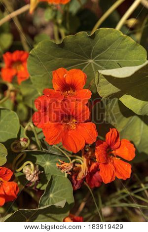 Orange Nasturtium flowers are edible and grow on a vine covering the ground in spring.