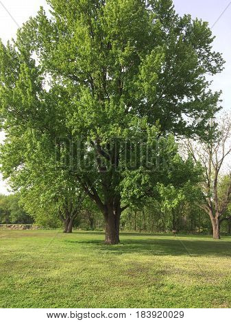 Beautiful elm tree showing nice shades off green in spring at Starved Rock State Park