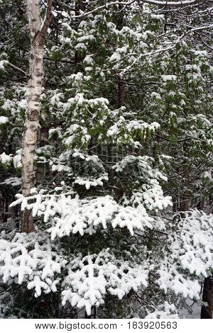Fresh snow covers the branches and needles of a balsam fir tree (Abies balsamea) in the Naas Raunecker Nature Preserve in Harbor Springs, Michigan during November.