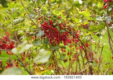 nature, botany, gardening and flora concept - red currant bush at summer garden