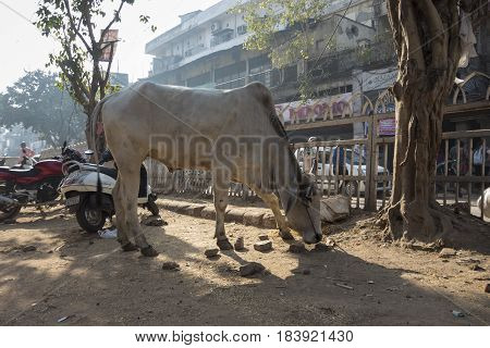 DELHI INDIA - MAR 21 : stray bull on street in chandni chowk at old delhi of delhi on march 21 2015 india. bull is holy creature of indian