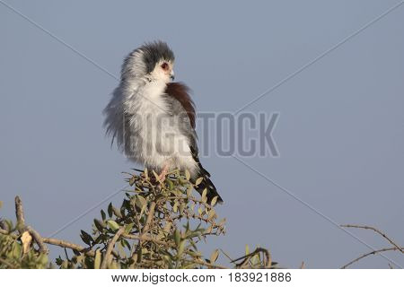 Female falcon pigmy sitting on a branch of acacia in the savannah with her head turned back