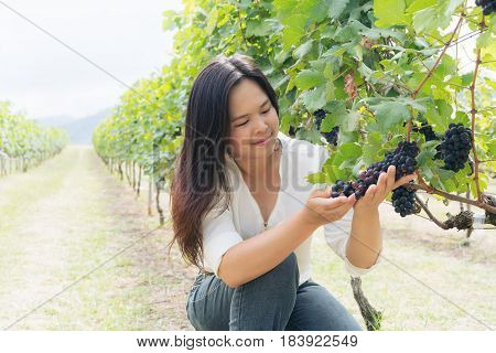Vineyard woman worker checking wine grapes in vineyard. Winery winemaker and worker concept. Sunny day in vineyard.