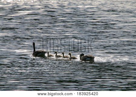 Goose family enjoying an outing by the lake