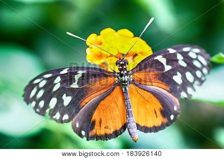 Heliconius hecale is a species of Lepidoptera belonging to the family Nymphalidae