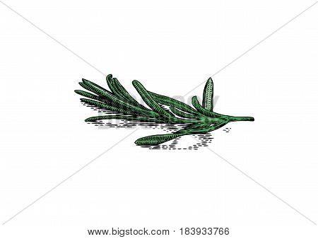 Drawing of isolated fresh branch of rosemary