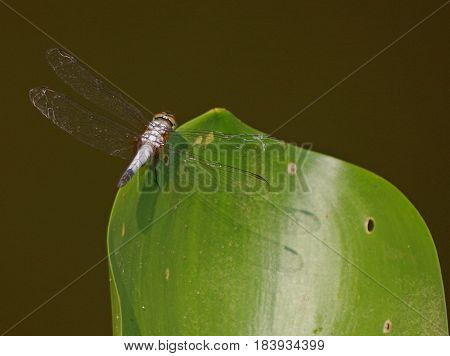 Dragon fly resting on the side of a broad green leaf.