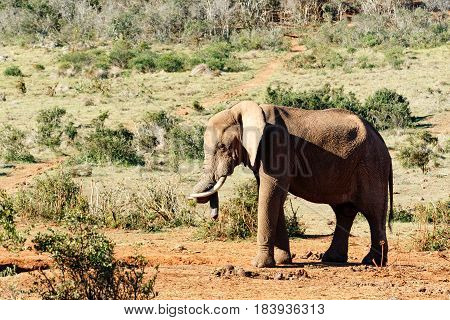 Elephant Twisting His Trunk Over His Tusk