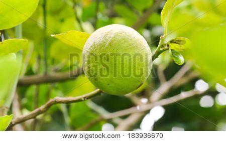 Close up of single lemon tree in the garden