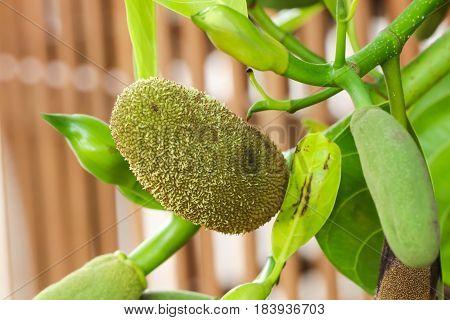 Closeup of Green Baby Jackfruit on the tree