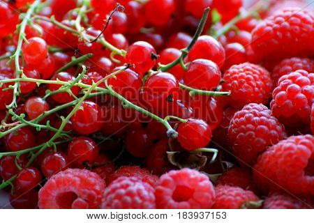 Berry background.Berries of ripe red raspberries red currants merge into one big pile.