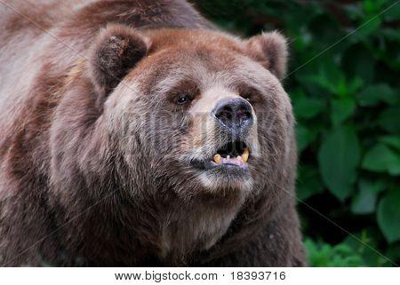 Brown kodiak bear