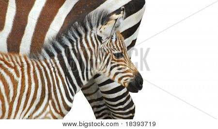 Mother and child zebra isolated on white
