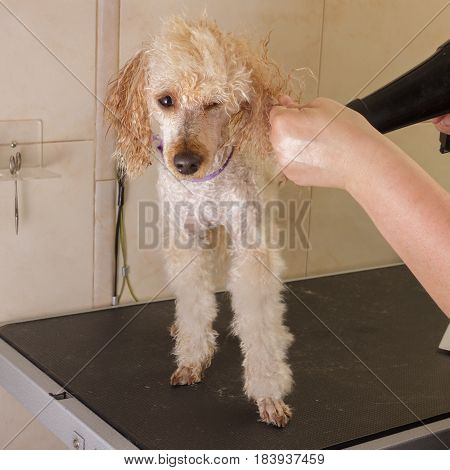 A small poodle pinch one eye during drying with a hair dryer