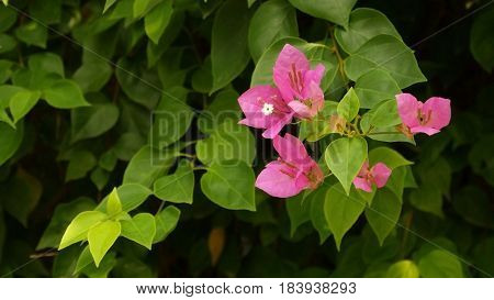 Bougainvillea flower in Vietnam. Asia. Beautiful flowers