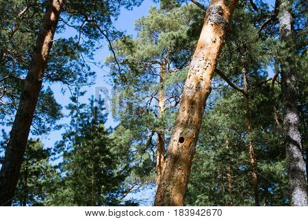 A Pine Tree With A Hollow In The Trunk, A Pine Forest At Baltic Sea Coast Near St. Petersburg, Russi