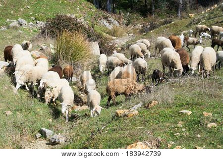 A Flock Of Sheep Grazing At The Hills Near Ronda, Andalusia, Spain.