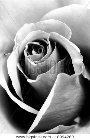 Closeup of black and white rose as background