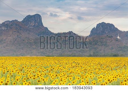 Big full bloom sunflower field with mountain background nautral landscaep background
