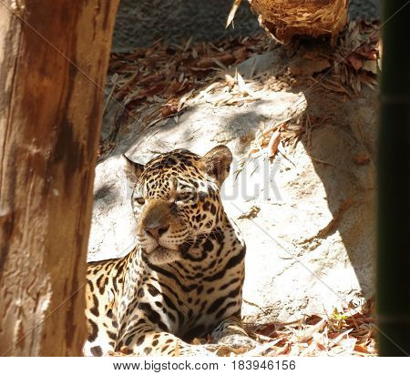 Jaguar cat lying in the dappled sunlight behind a post.