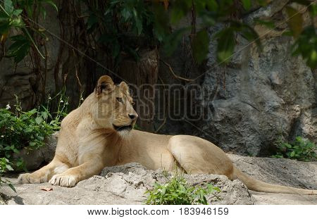 Lying lioness looks intently over her left shoulder.