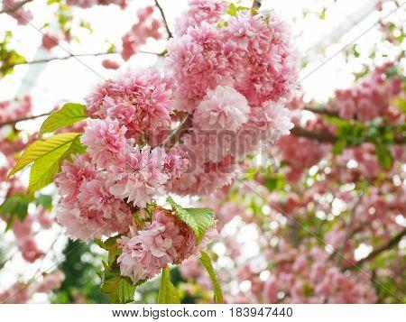 Pink and densed yaezakura. Yaezakura or cherry blossoms which have more than 5 petals,  including kwanzan cherry and kikuzakura cherry