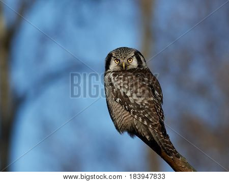 Northern hawk-owl (Surnia ulula) sitting on a branch in its habitat