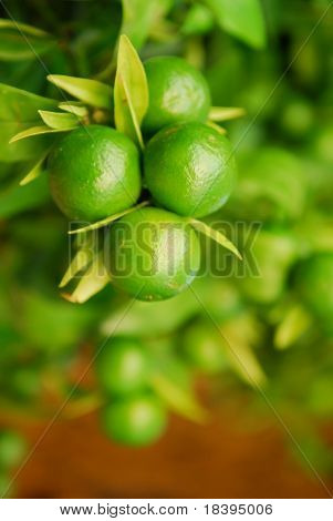 Fresh green citrus fruit on a tree with shallow dof
