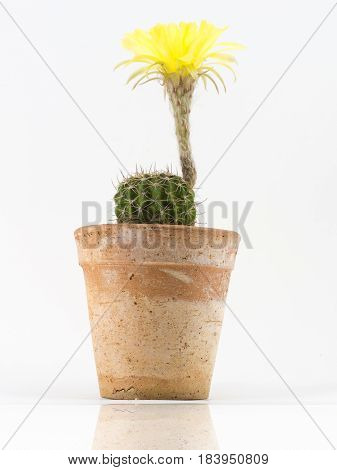 Cactus with yellow flower in a pot. Isolated on a white background.