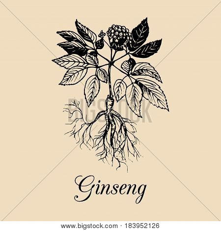 Vector Ginseng root, leaves and flower illustration. Hand drawn sketch of Aralia Quinquefolia plant background. Officinalis, medicinal, cosmetic herb logo.