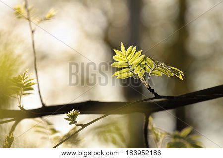 Spring rowan leaf in the morning .