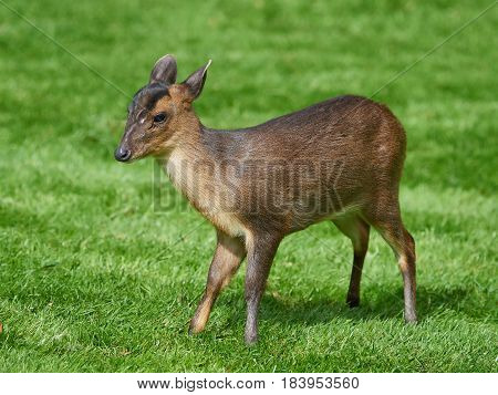 Reeves muntjac standing in grass seen from the side