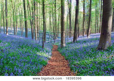 Wild bluebell hyacinths and beech trees in forest 'Hallerbos', Belgium poster