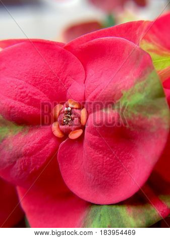 Beautiful Closed Up Of Pink Crown Of Thorns Or Christ Thorn Flowers (euphorbia Milli) In The Garden.