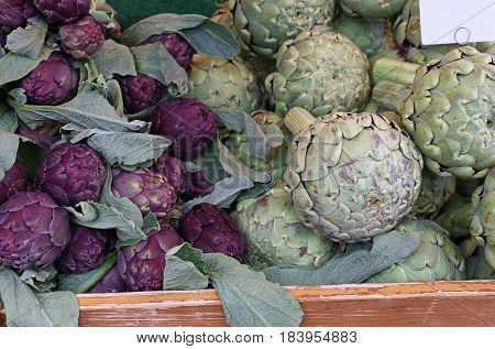 Green And Purple Fresh Globe Artichokes