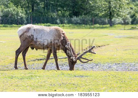 A Male Caribou or Reindeer Feeding in Grass