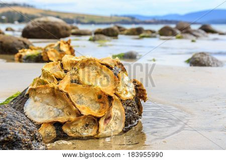 empty wild oyster shells on rocks in Tasmania's D'Entrecasteaux Channel