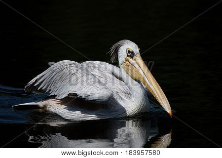 Pink backed pelican swimming in water looking for food