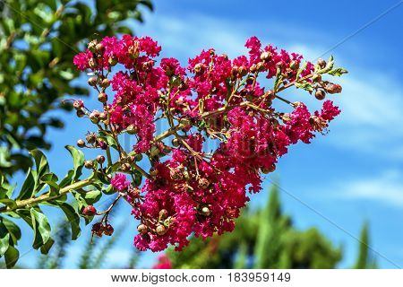 blossoming tree lilac Indian, Balkan fresh nature poster