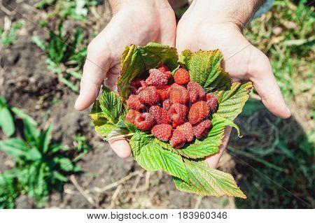 Mans palms full of the fresh-picked forest raspberries Rubus idaeus lying on a raspberry leaf.