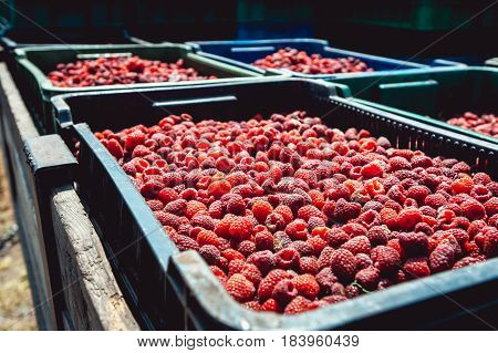 farm growing raspberries. harvest ripe raspberries picked in boxes and ready for further processing.