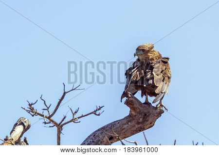 Bateleur eagle in Kruger national park, South Africa ; Specie Terathopius ecaudatus family of Accipitridae